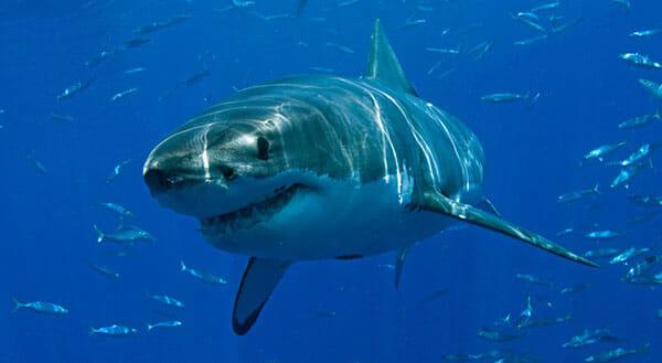 Tiburón Blanco 2019