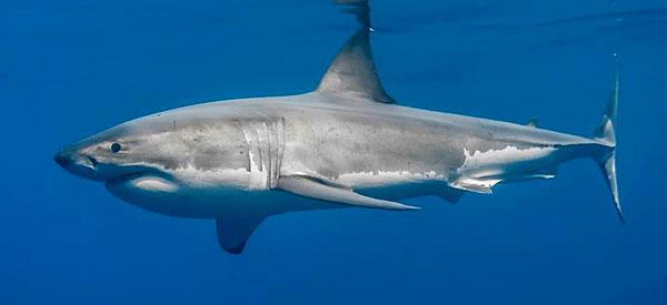 Tiburon-Blanco-de-perfil-2019 - características del tiburon blanco