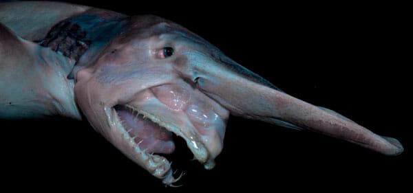 Tiburón Duende 2019