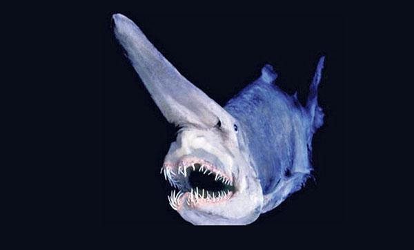 Tiburon-Duende - tiburones duendes