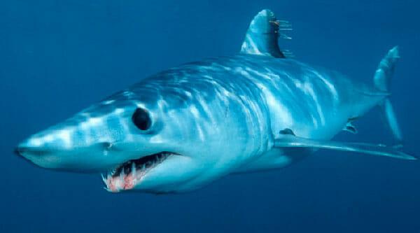 Tiburón Mako 2019