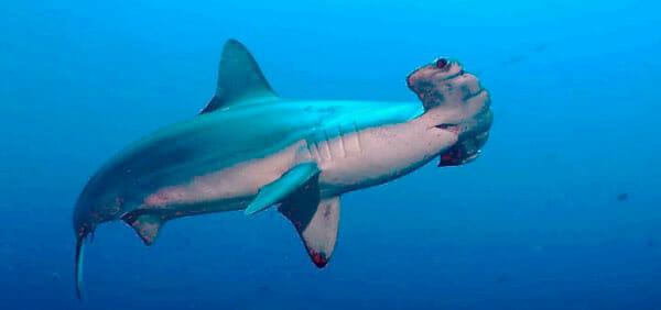 Tiburón Martillo 2019