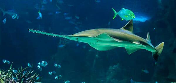 Tiburón Sierra 2019