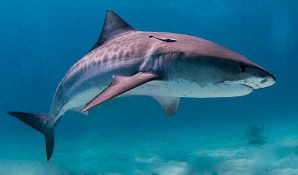 Tiburón Tigre 2019