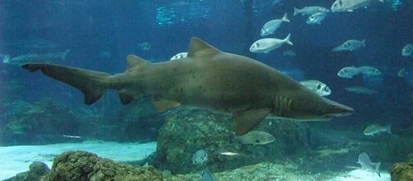 Tiburón Toro 2019