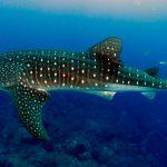 Tiburón Ballena 2020