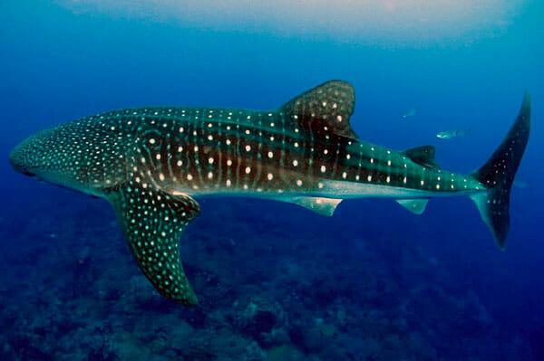 Tiburon-ballena-2019-tiburones_top