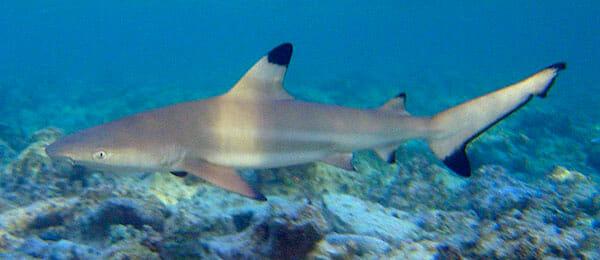 Tiburón de Punta Negra 2019