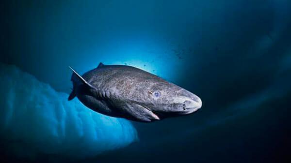 Tiburón de Groenlandia o boreal