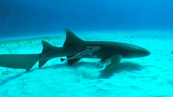 Tiburón Gato
