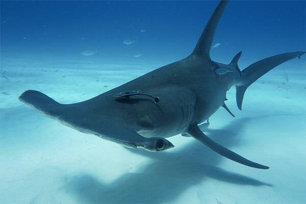 Tiburon martillo 2019 tiburones.top