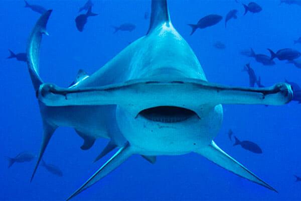 tiburon-martillo-tiburones.top-2019-1