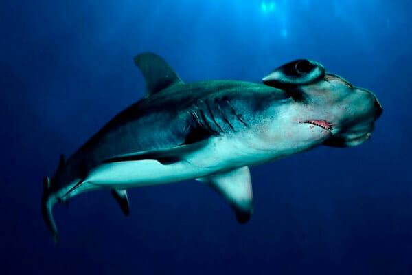 tiburon-martillo-tiburones.top-2019-2