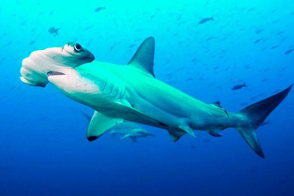 tiburon-martillo-tiburones.top-2019-3