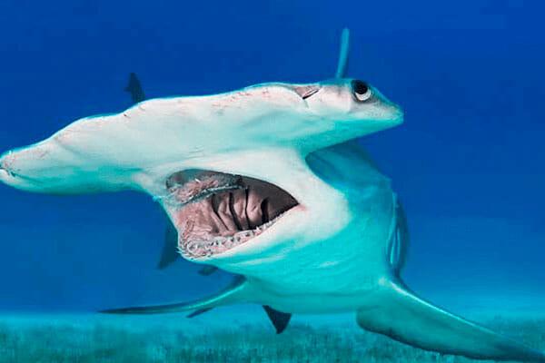 tiburon-martillo-tiburones.top-2019-4