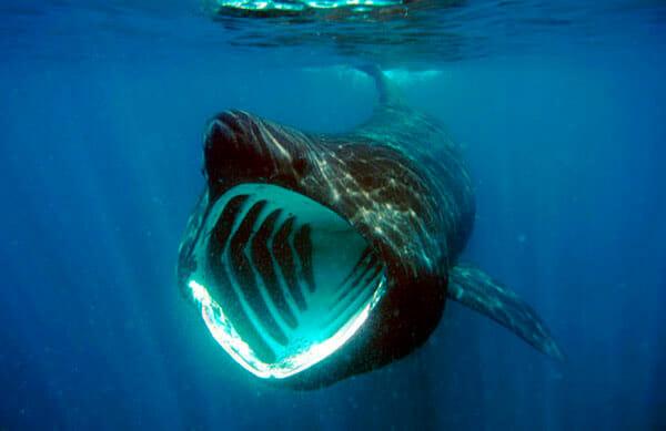 tiburón peregrino 2019 cuanto mide un tiburon