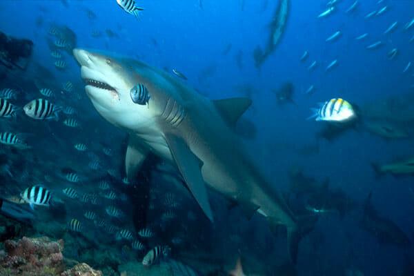 tiburon-toro-2019-2