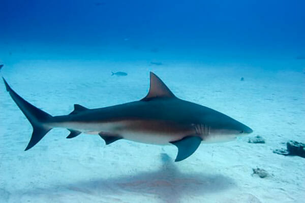tuburon-toro- tiburon de agua dulce