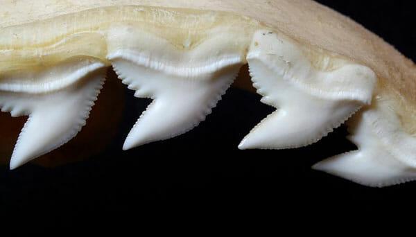 dientes del tibron