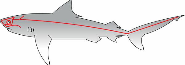 Línea lateral de los tiburones