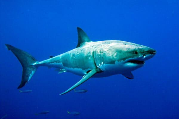 tiburones-tiburones.top- sistema circulatorio del tiburon
