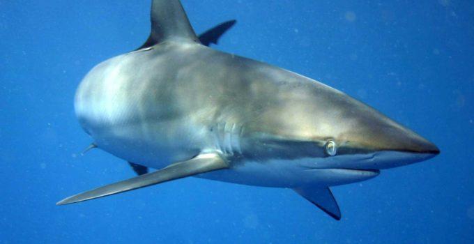 Carcharhinus_falciformis-tiburon--de-seda