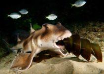 Heterodotus-Galeatus-tiburon-cabeza-de-toro-con-cresta