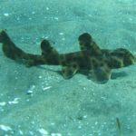 El tiburón cuerno