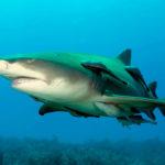 🦈🍋 Tiburón Limón