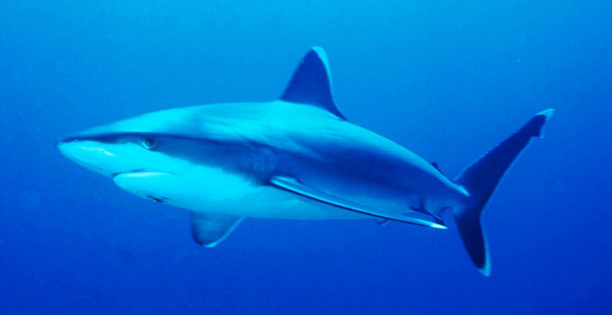 Silvertip_shark-Carcharhinus-Albimarginatus