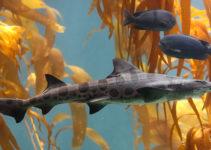 Tiburon-Leopardo--Triakis-semifasciata