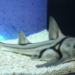 Tiburón de Port Jackson (Heterodontus portusjacksoni)