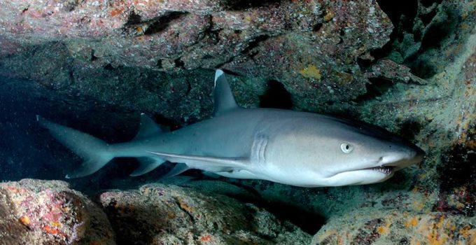 Triaenodon-Obesus-Tiburon-de-arrecife-de-puntas-blancas--