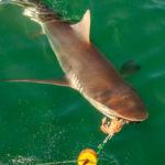 Tiburón de cobre