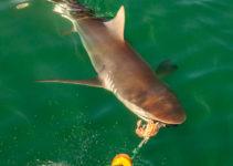 copper-shark-tiburon-de-cobre