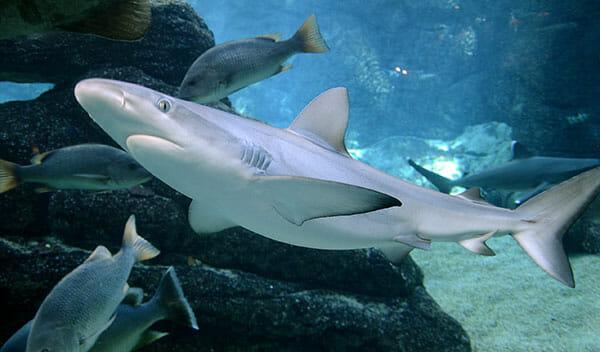 Tiburon de arrecife de punta negra