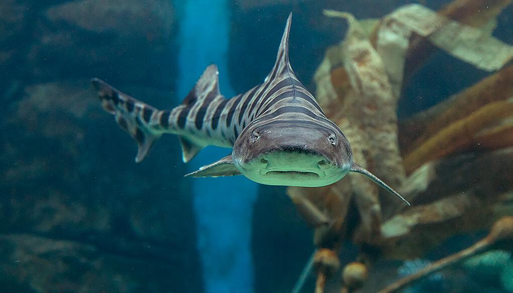 tiburon leopardo