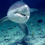 Tiburón Tigre en 2020