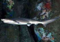 tiburón_siete_branquias_de_nariz_roma_corta-Notorynchus_cepedianus--2