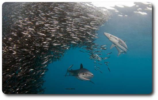 tiburones azules acechando un banco de peces