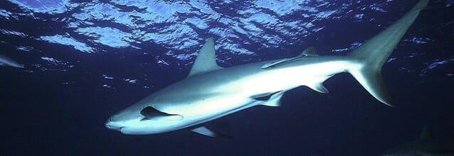 tiburon mamifero