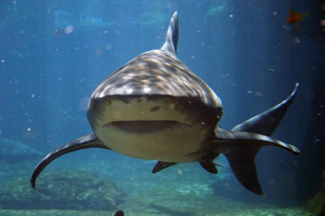 Tiburón Mamífero