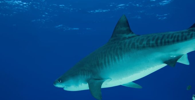 Aceite de Hígado de Tiburón