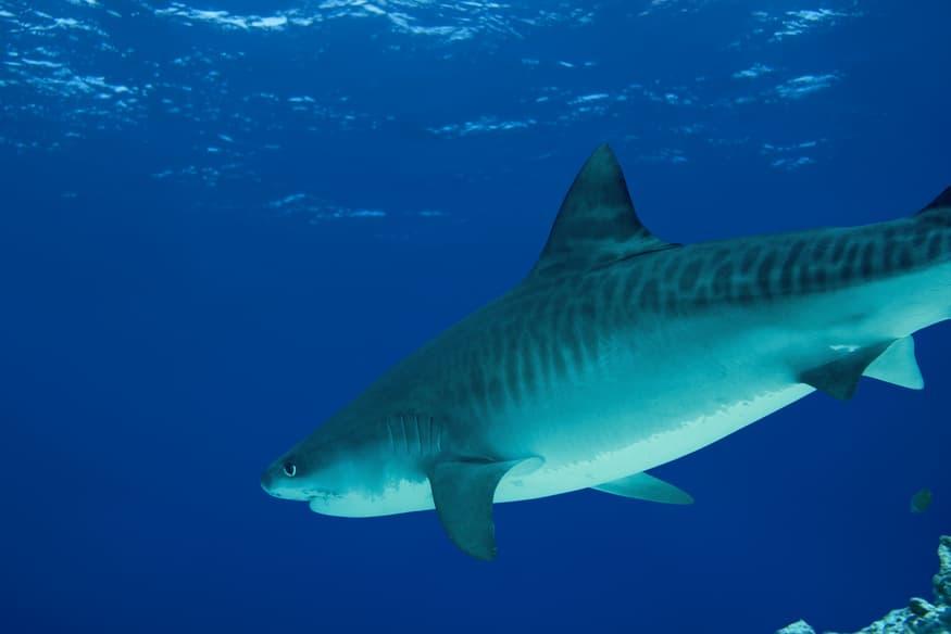 ¿Para qué sirve el aceite de tiburón?
