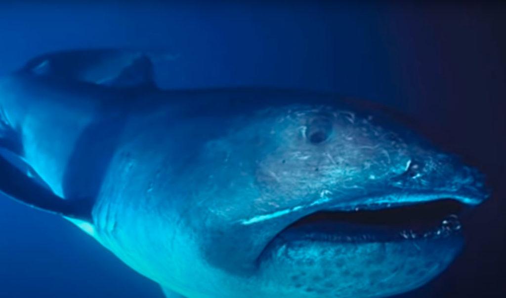 Tiburón boca grande o mega boca