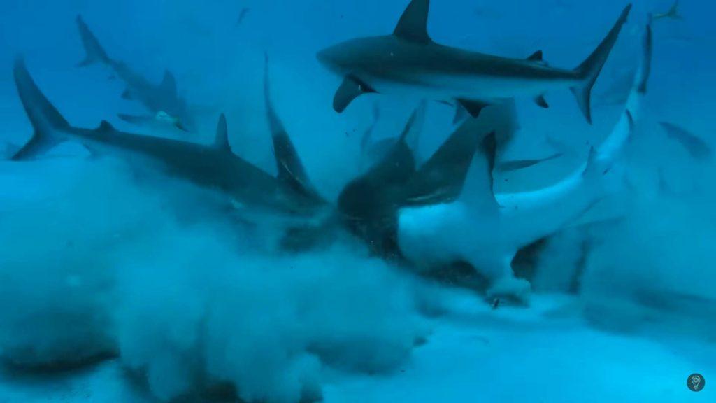 Ataque de Tiburón-Los tiburones prefieren la sangre humana o la de los peces-1