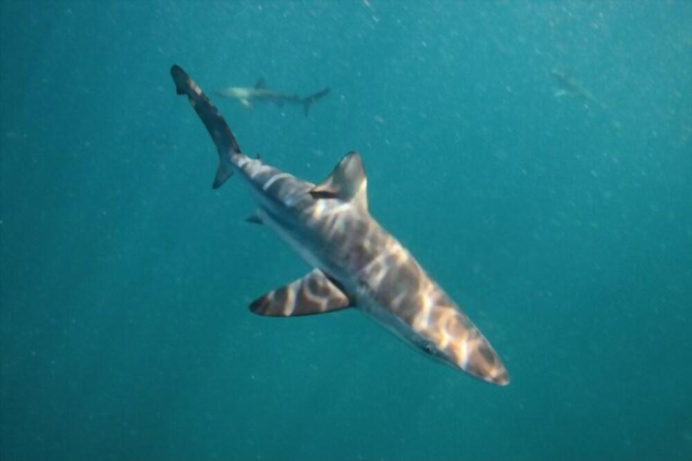 Tiburón Cobrizo