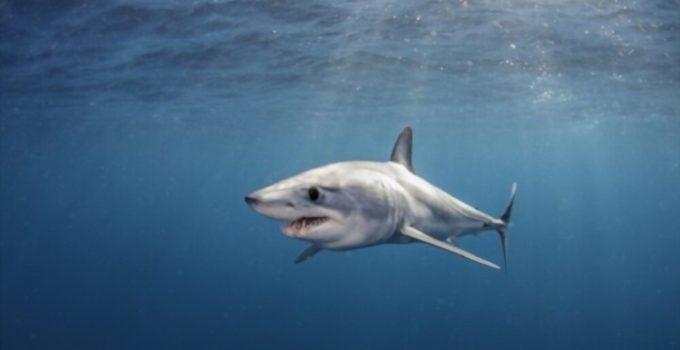 Tiburón Marrajo de Aleta Corta