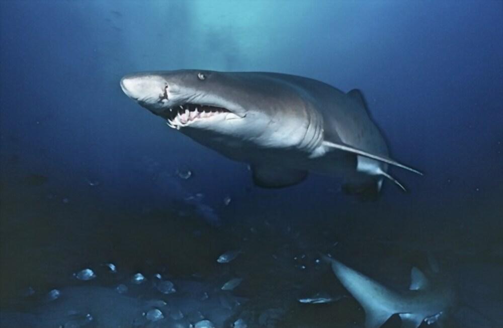 Tiburón Tigre de Arena