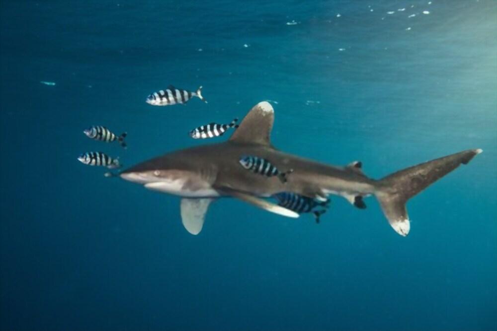 Tiburón de Punta Blanca Oceánico